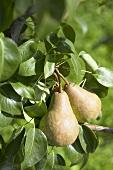 Pears, variety 'Bongerspeer', on the tree