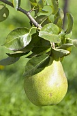 Pear, variety 'Doyenne de Comice', on the branch