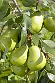 Pears, variety 'President Drouard', on the tree