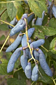 Blue sausage fruit (Decaisnea fargesii) on the bush