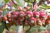Zieräpfel der Sorte 'John Downie' am Baum