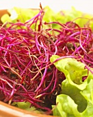 Beetroot sprouts on lettuce