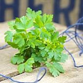 Flat leaf parsley (Petroselinum crispum var. neapolitanum)