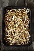 Bean sprouts in tray