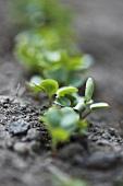 Radish seedlings in soil