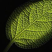 A sage leaf (extreme close-up)