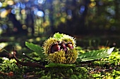 Chestnut on forest floor