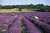 Lavender harvest in Provence