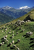 A herd of sheep on mountain pasture (France)