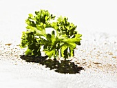Chervil with drops of olive oil