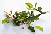 Branch of apple blossom with leaves