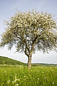 Flowering cherry tree in meadow