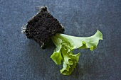 Young lettuce plant