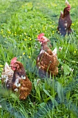 Three hens in pasture