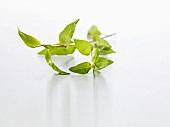 Vietnamese coriander (Polygonum odoratum or Persicaria odoratum)