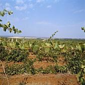 Vineyard in Kosovo