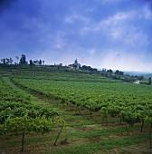 Vineyard near Barcelos, Cavado, Portugal