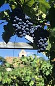 Vernatsch grapes, Eppan (Appiano), S. Tyrol, Italy
