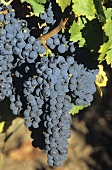 Cabernet Sauvignon grapes on the vine