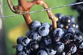 Zweigelt grapes