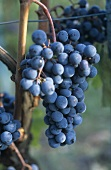 Tempranillo grapes on the vine, Rioja, Spain