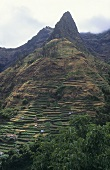 Vineyards in Madeira