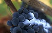 Periquita grapes, Portugal