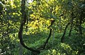 Prosecco vines, Guia, Veneto, Italy