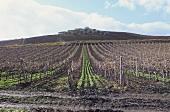 Vineyards of Giuseppe Tasca's top estate, Regaleali, Sicily