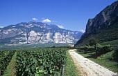 Traminer-Anbau, Weingut Endrizzi, Trentino, Italien