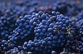 Tempranillo grapes (full-frame)