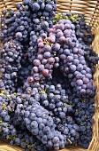 Zinfandel grapes in basket