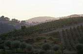 Landscape of vines, Umbria, Italy