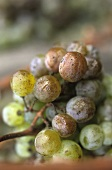 White wine grapes affected by botrytis, Wachau, Austria