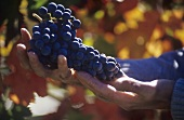 Wine-maker holding Fumin grapes, Aosta Valley, Italy