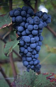 Furmint grapes, Aosta Valley, Italy