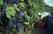 Picking Nebbiolo grapes for Barolo, Monforte d'Alba, Piedmont
