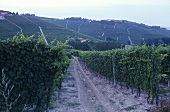 Several vineyard sites in Barolo wine growing area, Piedmont