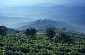 Weinberg vor La Morra, Barolo, Piemonte, Italien