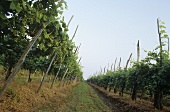 Rows of vines near Ghemme, Novara, Piedmont, Italy