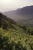 Vineyards near Loazzolo, Asti, Piedmont, Italy