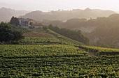 Landscape of vines near Asti, Piedmont, Italy