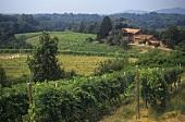 Vineyard near the commune of Boca, Novara, Piedmont, Italy