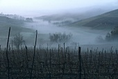 Vineyard in autumn, Fontana Fredda, Piedmont, Italy