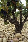 Old Mouvèdre vine, Chateauneuf-du-Pape, Rhone, France