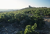 Vineyard on stony soil, Chateauneuf-du-Pape, Rhone, France