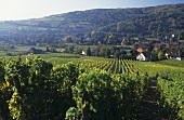View of Andlau across vineyard, Alsace, France