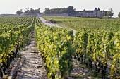Vineyard of Château d'Yquem, Sauternes, Bordeaux