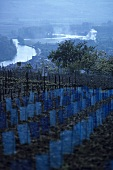 New plantation of young vines, Champagne, France