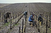 Men tying in vine shoots, Champagne, France